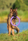 German shepherd dog standing with a toy Royalty Free Stock Image
