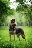 German shepherd dog stock images