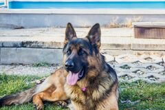 German Shepherd dog outside Royalty Free Stock Photography