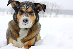 German Shepherd Dog Outside Covered in Snow Royalty Free Stock Images