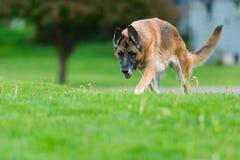 German Shepherd Dog Outside royalty free stock images