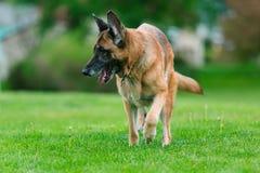 German Shepherd Dog Outside stock image
