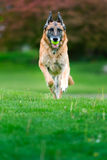 German Shepherd Dog Outside royalty free stock photography