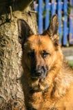 German Shepherd. Dog outside Portrait Royalty Free Stock Photo