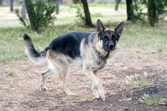 German shepherd dog Royalty Free Stock Images