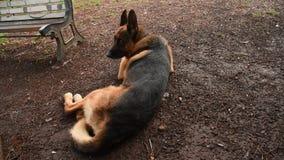 German shepherd dog at the park