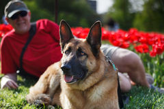 German Shepherd Dog in Park in Spring Royalty Free Stock Photography