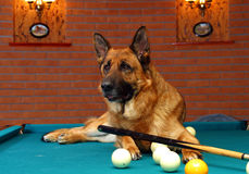 German shepherd dog play billiard Stock Photography