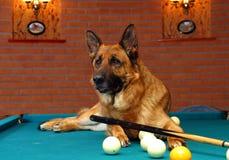 German shepherd dog play billiard Stock Photography