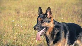 German shepherd dog playing outdoor.