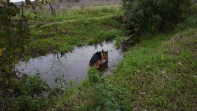 German shepherd dog playing at the park Park