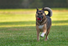German Shepherd dog is playing. German Shepherd dog is running with a ball in his mouth Stock Image