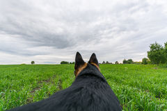 German shepherd dog playing and running. Point Of View. Royalty Free Stock Photos