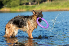 German shepherd dog playing with a toy Royalty Free Stock Image