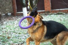 German shepherd dog playing with a toy rubber bagel tied to a tree during the first snow, the beginning of winter.  royalty free stock image