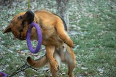 German shepherd dog playing with a toy rubber bagel tied to a tree during the first snow, the beginning of winter.  stock images