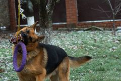 German shepherd dog playing with a toy rubber bagel tied to a tree during the first snow, the beginning of winter.  royalty free stock photo