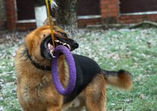 German shepherd dog playing with a toy rubber bagel tied to a tree during the first snow, the beginning of winter.  stock image