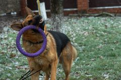 German shepherd dog playing with a toy rubber bagel tied to a tree during the first snow, the beginning of winter.  royalty free stock photography