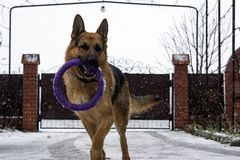 German shepherd dog playing with a toy rubber bagel tied to a tree during the first snow, the beginning of winter. Home pets stock photos