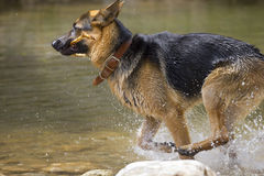 German Shepherd dog playing in the water Royalty Free Stock Photography