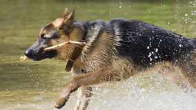 German Shepherd dog playing in the water Stock Photography