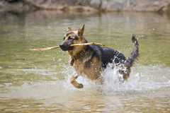 German Shepherd dog playing in the water Royalty Free Stock Image