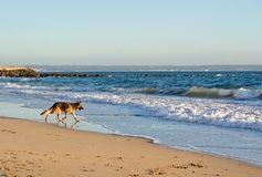 German Shepherd dog plays on the beach Royalty Free Stock Photography