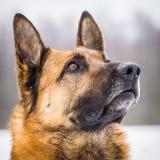 German Shepherd Dog portrait Stock Image