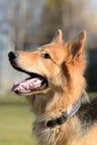 German Shepherd dog portrait Royalty Free Stock Photo