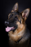 German Shepherd. Dog portrait on black background Stock Image