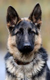 German shepherd dog portrait Stock Photography