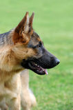 German Shepherd dog portrait Royalty Free Stock Photography