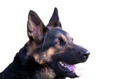 German shepherd dog portrait isolated on white background Royalty Free Stock Photography