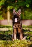 German shepherd dog portrait outdoors Stock Photos
