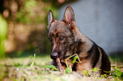 German shepherd dog portrait outdoors Royalty Free Stock Images