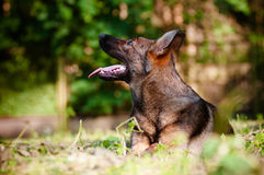 German shepherd dog portrait outdoors Royalty Free Stock Photography