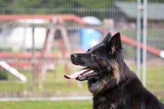 German Shepherd dog portrait Royalty Free Stock Images