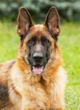 German Shepherd dog. Portrait of a dog, thoroughbred German Shepherd on a red-green background, large Stock Photo
