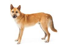 German Shepherd Dog Profile Over White Stock Images