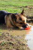 German Shepherd dog in a puddle Royalty Free Stock Photo