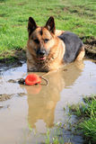 German Shepherd dog in a puddle Stock Image