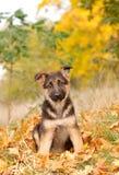 German shepherd dog puppy stock photo