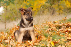 German shepherd dog puppy stock image
