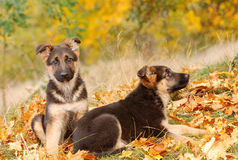 German shepherd dog puppy Stock Photos