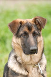 German shepherd dog puppy Royalty Free Stock Photography