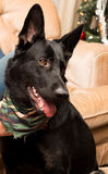 German shepherd dog. Puppy a german shepherd dog Stock Images