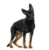 German Shepherd Dog puppy in front of a white bac Royalty Free Stock Photography