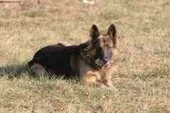 German Shepherd dog Royalty Free Stock Image