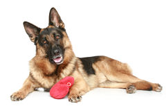 German shepherd dog with red Valentine heart Royalty Free Stock Photo